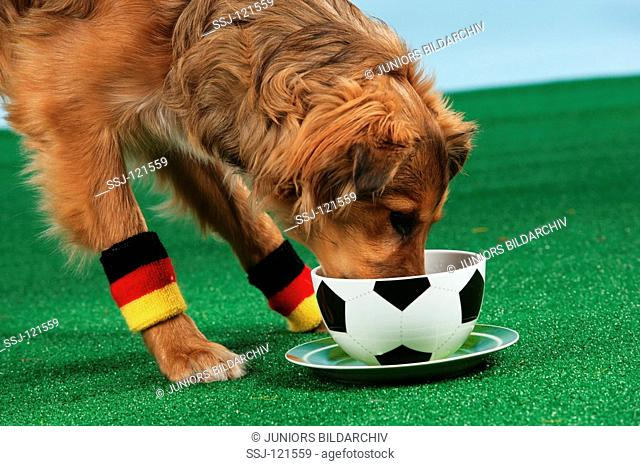 world championship of soccer : half breed dog - drinking out of bowl