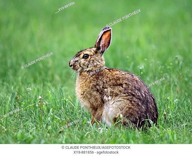 Snowshoe-Hare