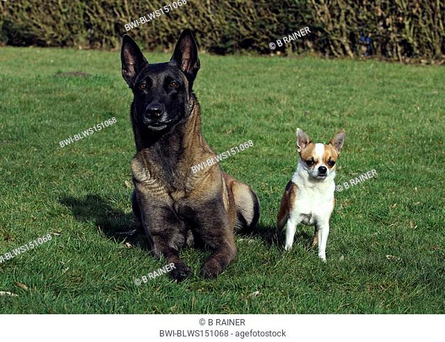 Malinois Canis lupus f. familiaris, Chihuahua and Malinois side by side in a meadow