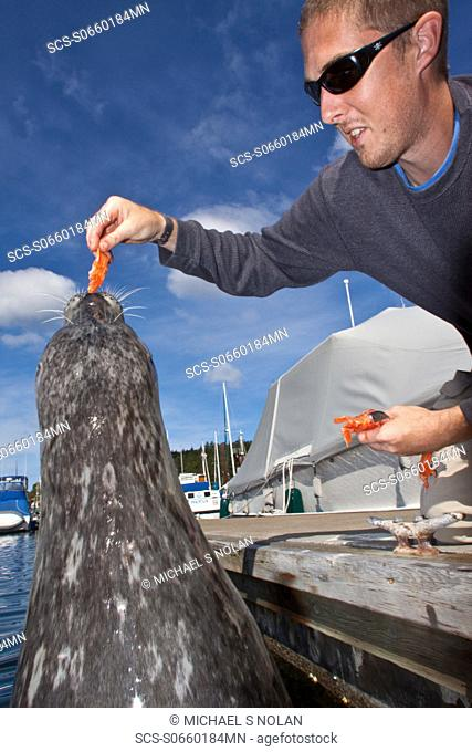 Popeye the official harbor seal Phoca vitulina of Friday Harbor on San Juan Island, Washington State, USA, Pacific Ocean MORE INFO Popeye earned her name as a...