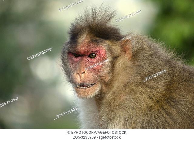An angry looking rhesus macaque or monkey, Maharashtra, India
