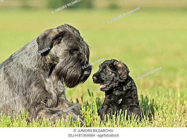 Giant Schnauzer. Mother with puppy lying on grass. Germany