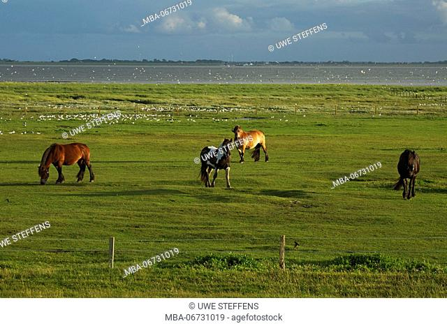 Grazing horses and black-headed gulls on the salt meadows of the East Frisian island of Baltrum in the evening light