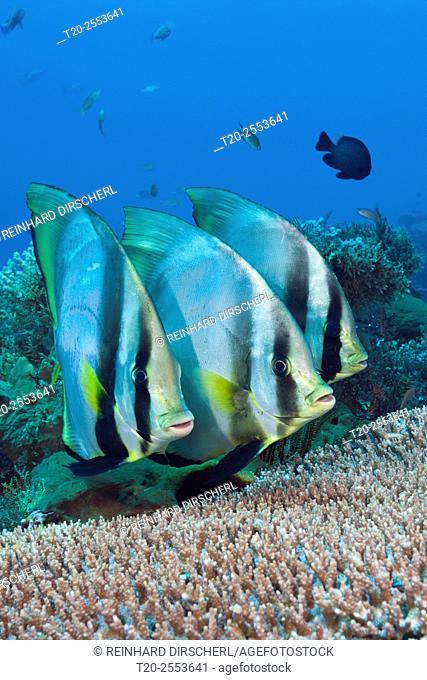 Group of Pinnate Batfish, Platax pinnatus, Komodo National Park, Indonesia