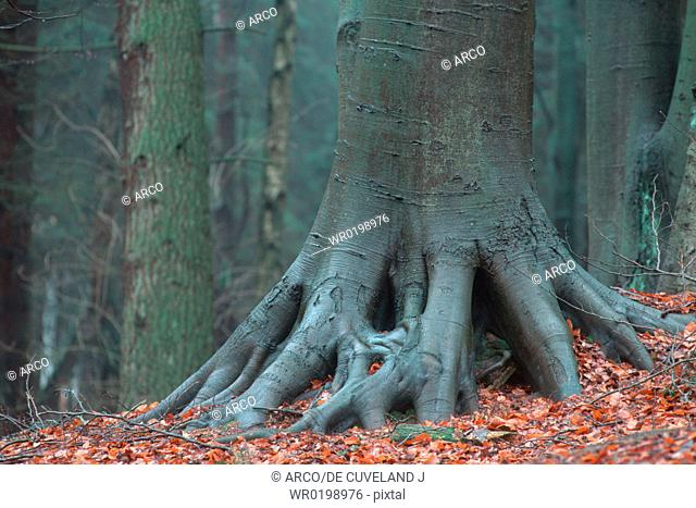 Beech, trunk, and, roots, Germany,Fagus, sylvatica