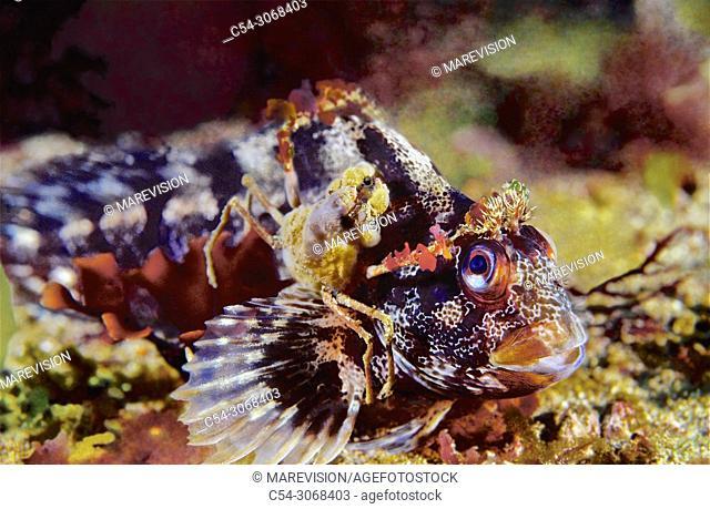 Leach's spider crab (Inachus phalangium) worming blenny. Tompot Blenny (Parablennius gattorugine). Eastern Atlantic. Galicia. Spain. Europe