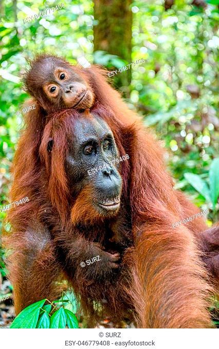 On a mum`s back. Baby orangutan on mother's back in a natural habitat. Bornean orangutan (Pongo pygmaeus wurmbii) in the wild nature