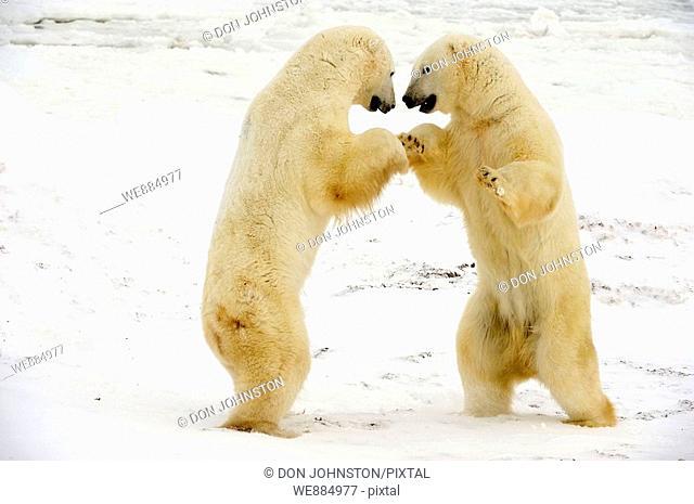 Polar bear Ursus maritimus Pair sparring/playfighting