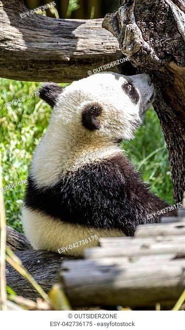 beautiful panda bear playing on flowers and branches of trees in a zoo