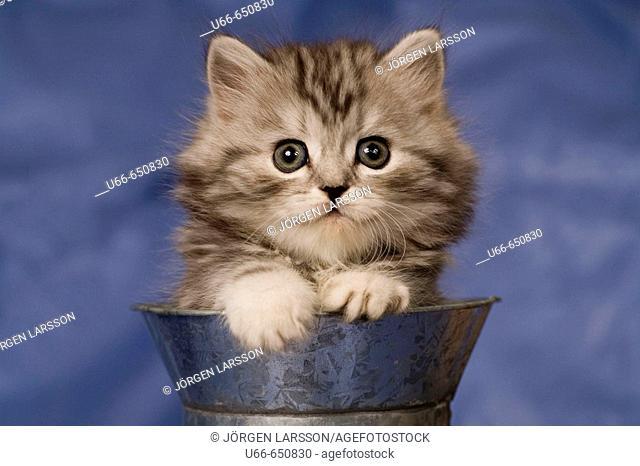 Cat. British Shorthair