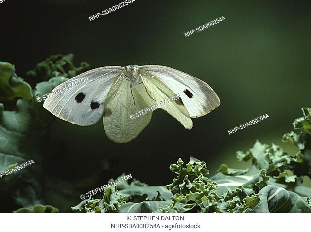 LARGE WHITE BUTTERFLY Pieris brassicae in flight