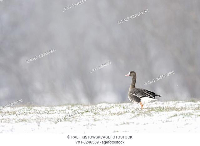 White-fronted Goose / Blaessgans ( Anser albifrons ) on snow covered grassland, single bird, in front of typical background, walking away, wildlife, Europe