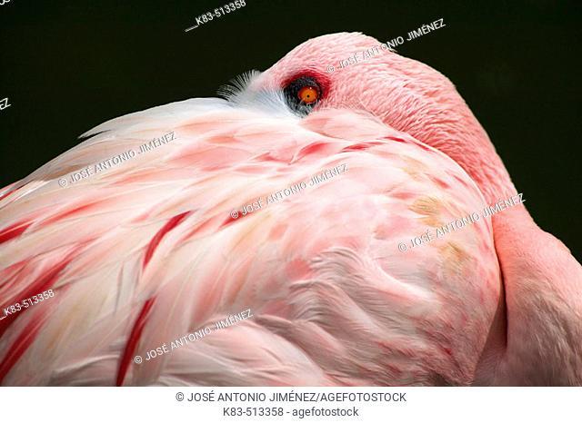 Lesser Flamingo (Phoenicopterus minor)