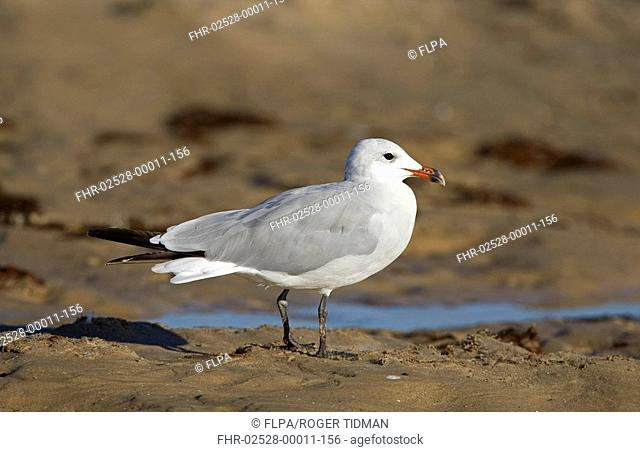 Audouin's Gull Larus audouinii adult, standing on beach, Tarifa, Andalusia, Spain, september