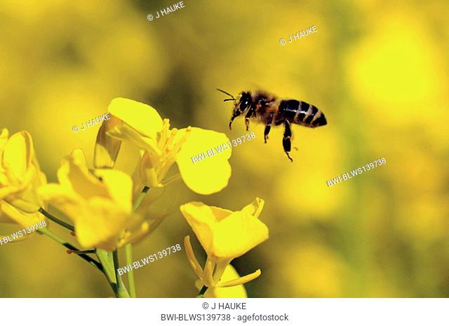honey bee, hive bee Apis mellifera mellifera, flying at rape flower, Germany