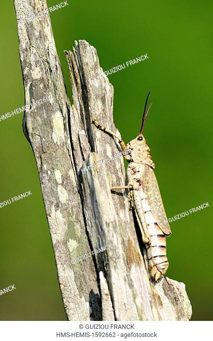 Swaziland, Lubombo district, Hlane Royal National Park, cricket