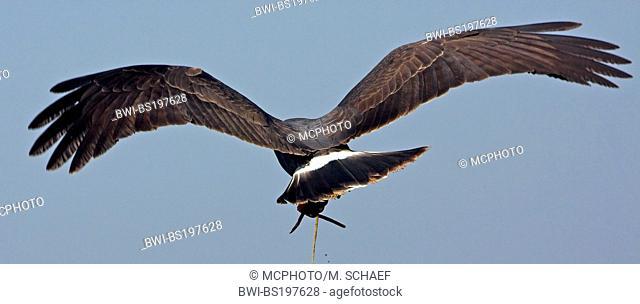everglade kite (Rostrhamus sociabilis), flying, USA, Florida, Lake Kissimmee