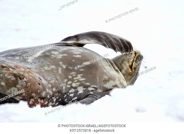 Weddell seals (Leptonychotes weddellii). Young pup lying on sea ice. Weddell seals are born singly. They have fine soft hair (lanugo) that turns to a dark...