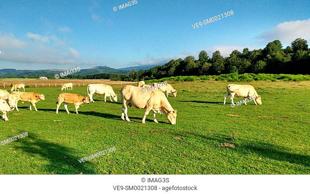 Cows in Auritz (Burguete), Way of St. James. Navarre, Spain, Europe