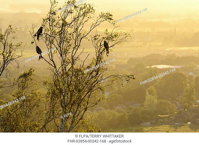 Red Kite (Milvus milvus) four adults, perched in tree at sunset, Chilterns, Buckinghamshire, England, June