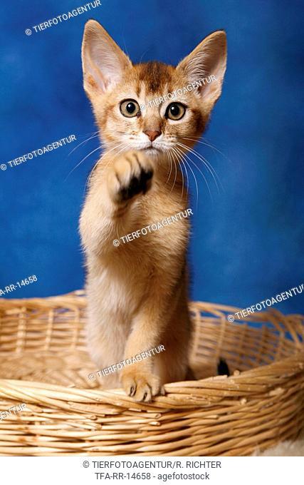 Abessinier Kitten