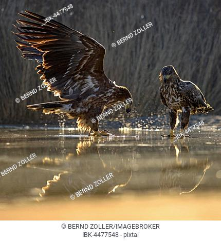 Eagle (Haliaeetus albicilla), young eagles fighting over carcass of a fish in shallow water, fishpond, Kiskunság National Park, Hungary
