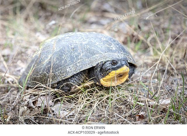 Blanding's Turtle (Emydoidea blandingii) a Threatened Species, Killarney Provincial Park, Ontario, Canada