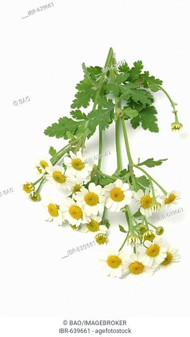 Feverfew (Chrysanthemum parthenium), medicinal herb