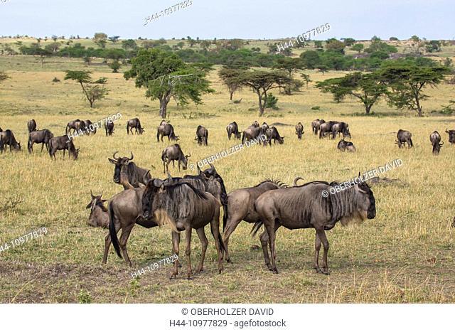 Africa, gnu, wildebeest, scenery, landscape, travel, savanna, Serengeti, mammals, Tanzania, East Africa, animals, flock, herd, wilderness, wild animals