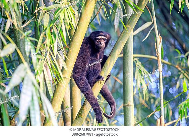 South east Asia, India,Tripura state,Gumti wildlife sanctuary,Western hoolock gibbon (Hoolock hoolock),adult male