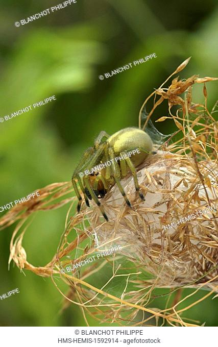 France, Morbihan, Araneae, Miturgidae, Yellow sac spider (Chirachantium punctarium), female on its silky lodge