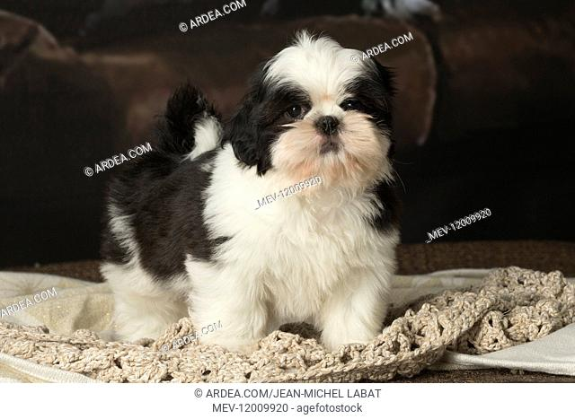 Shih Tzu puppy indoors