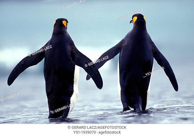 King Penguin, aptenodytes patagonica, Adults walking on Beach, Colony in Salisbury Plain, South Georgia