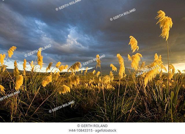 New Zealand, Mount Ruapehu, Tongariro, national park, North island, UNESCO, World heritage site, Flora, Grass, Volcano