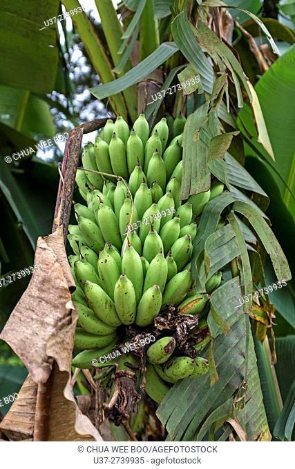 Banana trees, Kuching, Sarawak, Malaysia
