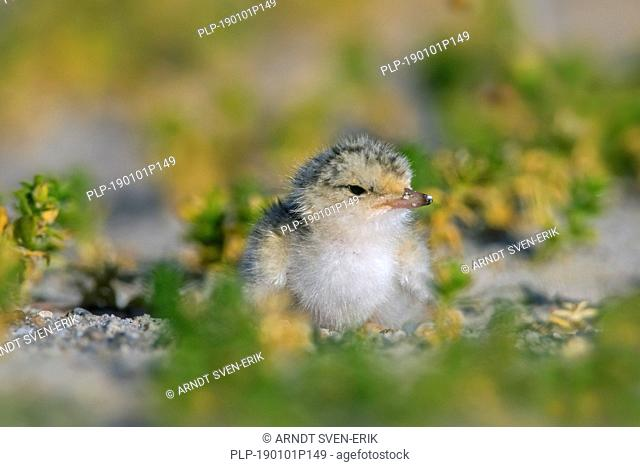 Little tern (Sternula albifrons / Sterna albifrons) chick in saltmarsh in late spring / summer