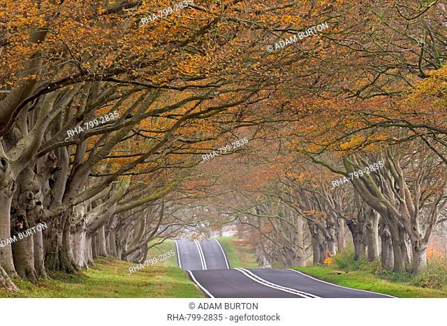 Country road passing through a tunnel of colourful autumnal beech trees, Dorset, England, United Kingdom, Europe