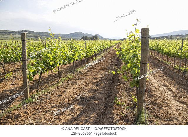 Spring vineyards Fontanars dels Alforins. Valencian community. Spain