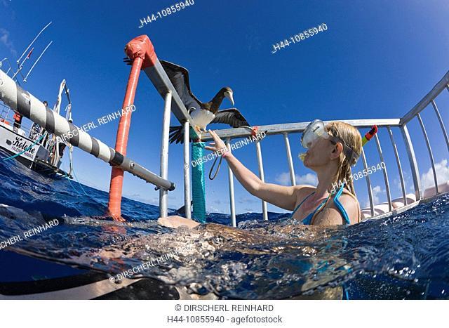 10855940, Nosey Sea Bird, Cage Diving, Hawaii, USA