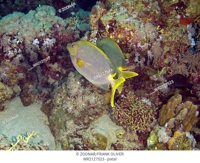 A pair of Starry rabbitfish
