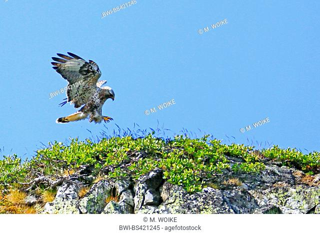 rough-legged buzzard (Buteo lagopus), landing on a mountain, side view, Norway, Varanger Peninsula