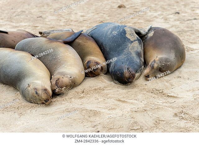 Galapagos sea lions (Zalophus wollebaeki) on a beach on Santa Fe Island (Barrington Island) in the Galapagos National Park, Galapagos Islands, Ecuador