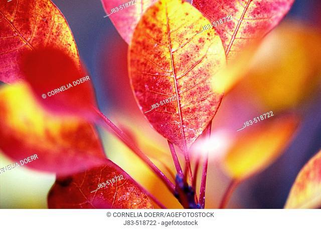 Smoke tree (Cotinus coggygria). Autumn Leaves