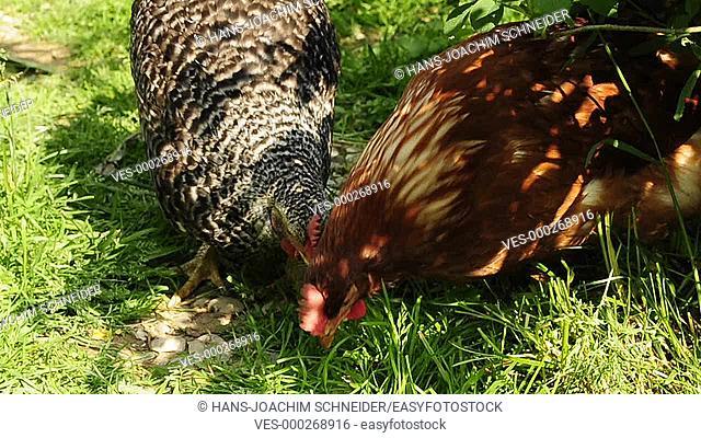 chicken in a free range meadow