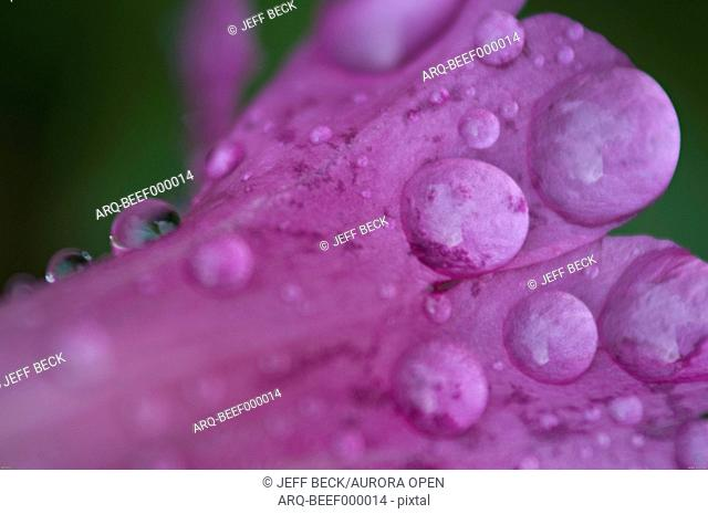 Detail of raindrops on Lewis Monkeyflower (Mimulus lewisii) in Stairs Gulch, Wasatch Mountains, Utah