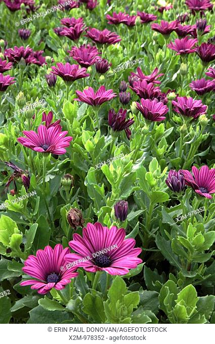 Osteospermum flowers during the summer months at Prescott Park in Portsmouth, New Hampshire USA