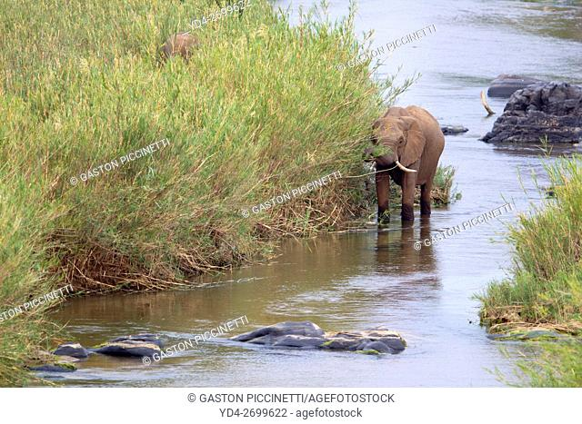 African Elephant (Loxodonta africana), eating reeds in the river, Kruger National Park, South Africa. The Common Reeds (Phragmites australis) are found in...