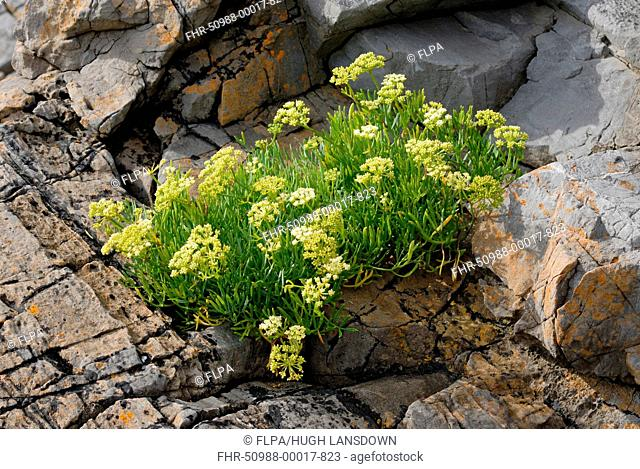 Rock Samphire (Crithmum maritimum) flowering, growing on limestone cliffs, Gower Peninsula, West Glamorgan, South Wales, August