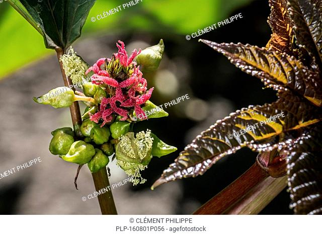 Female flowers of castorbean / castor-oil-plant (Ricinus communis) indigenous to the southeastern Mediterranean Basin, Eastern Africa, and India