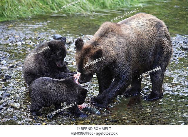 USA, Alaska, Fish Creek, river, coast-brown-bears, Ursus arctos, females, young, fish, eats, North America, southeast-Alaska, Alaska-Panhandle, Inside passage